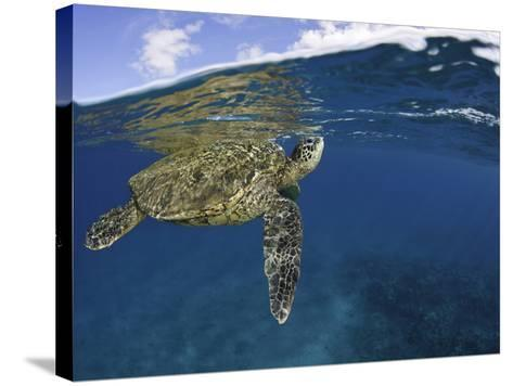 A Green Sea Turtle (Chelonia Mydas) Lifts its Head to the Surface for a Breath-David Fleetham-Stretched Canvas Print
