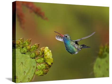 Broad-Billed Hummingbird (Cynanthus Latirostris) Approaching a Prickly Pear Cactus Bloom-Don Grall-Stretched Canvas Print