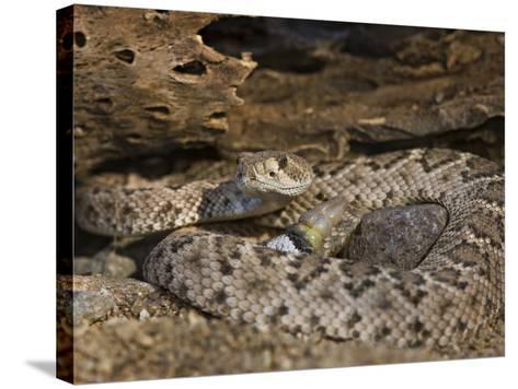 A Coiled Western Diamondback Rattlesnake (Crotalus Atrox), Madera Canyon, Arizona, USA-Don Grall-Stretched Canvas Print