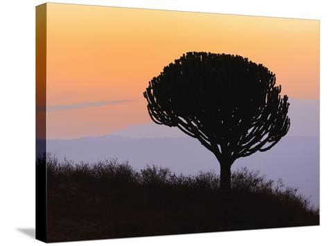 Candelabra Tree (Euphorbia Ingens) Silhouetted at Sunrise, Ngorongoro Crater, Tanzania, Africa-Adam Jones-Stretched Canvas Print