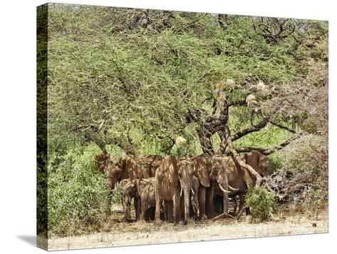 African Bush Elephants (Loxodonta Africana) Huddled under Tree to Avoid Noon Day Sun-Adam Jones-Stretched Canvas Print