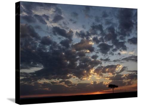 Umbrella Thorn Acacia (Acacia Tortilis) and Hot Air Balloons Silhouetted at Sunrise on the Savanna-Adam Jones-Stretched Canvas Print