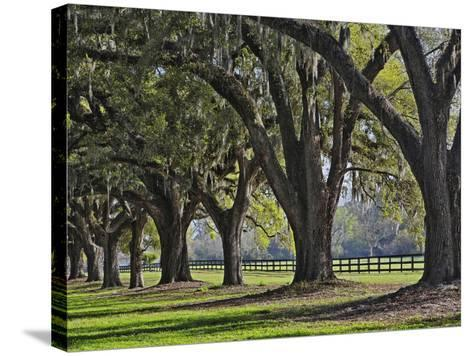 Stately Live Oak Trees Draped in Spanish Moss, Boone Hall Plantation-Adam Jones-Stretched Canvas Print