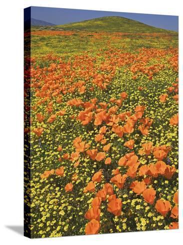 California Poppies-Adam Jones-Stretched Canvas Print