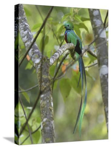 Resplendent Quetzal Male (Pharomachrus Mocinno), Cierro La Muerte, Costa Rica-Thomas Marent-Stretched Canvas Print