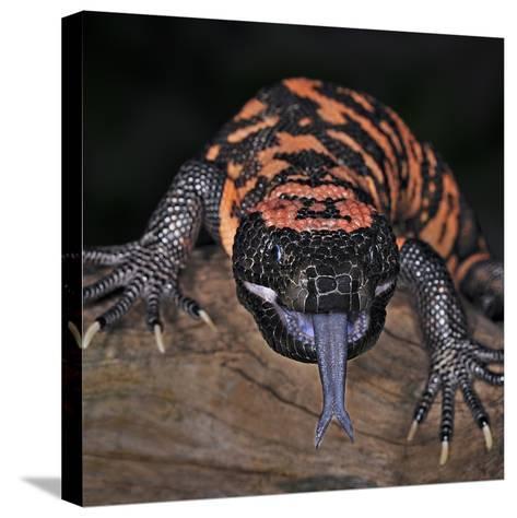Gila Monster (Heloderma Suspectum), Captive-Michael Kern-Stretched Canvas Print