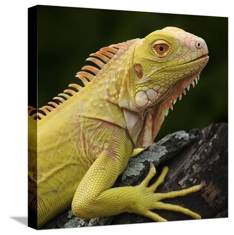 Albino Iguana (Iguana Iguana), Captive-Michael Kern-Stretched Canvas Print