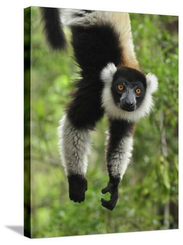 Black-And-White Ruffed Lemur Hanging from a Branch by its Tail-Thomas Marent-Stretched Canvas Print