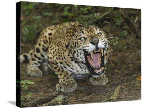 A Crouched and Aggressive Jaguar with Open Mouth, Showing its Sharp Teeth (Panthera Onca), Belize-Thomas Marent-Stretched Canvas Print