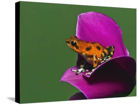 Strawberry Poison Dart Frog (Oophaga Pumilio)-Adam Jones-Stretched Canvas Print