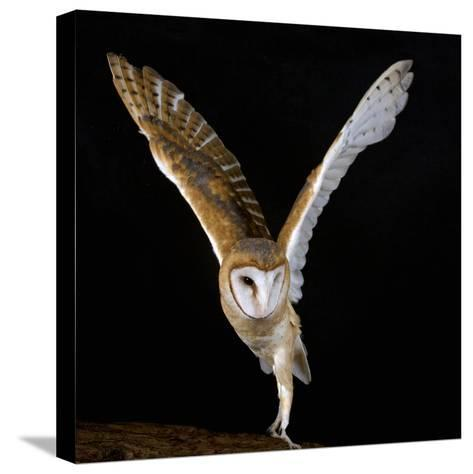 The Common Barn Owl (Tyto Alba) Is One of the Most Wide-Spread of All Land Birds, Captive-Michael Kern-Stretched Canvas Print