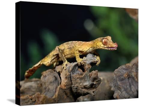 Satanic Leaf-Tailed Gecko (Uroplatus Phantasticus), Captive-Michael Kern-Stretched Canvas Print