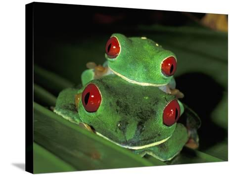 Red-Eyed Tree Frogs Mating (Agalychnis Callidryas), Cahuita National Park, Costa Rica-Thomas Marent-Stretched Canvas Print