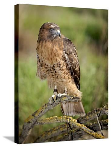 The Red-Tailed Hawk (Buteo Jamaicensis), Captive-Michael Kern-Stretched Canvas Print