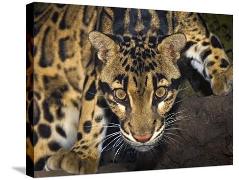 Clouded Leopard (Neofelis Nebulosa), Captive-Michael Kern-Stretched Canvas Print