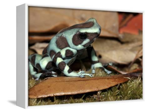 Green and Black Poison Dart Frog (Dendrobates Auratus), Captive-Michael Kern-Framed Canvas Print