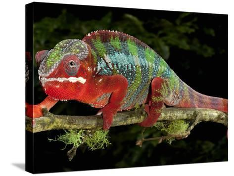 Panther Chameleon (Furcifer Pardalis), Captive-Michael Kern-Stretched Canvas Print