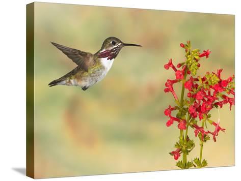 Calliope Hummingbird (Stellula Calliope) Male Flying at Texas Betony (Stachys Coccinea)-Jack Milchanowski-Stretched Canvas Print