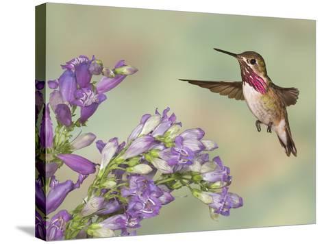 Calliope Hummingbird (Stellula Calliope) Male Flying-Jack Milchanowski-Stretched Canvas Print