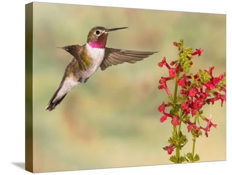 Broad-Tailed Hummingbird (Selasphorus Platycercus) Male Flying at Texas Betony (Stachys Coccinea)-Jack Milchanowski-Stretched Canvas Print
