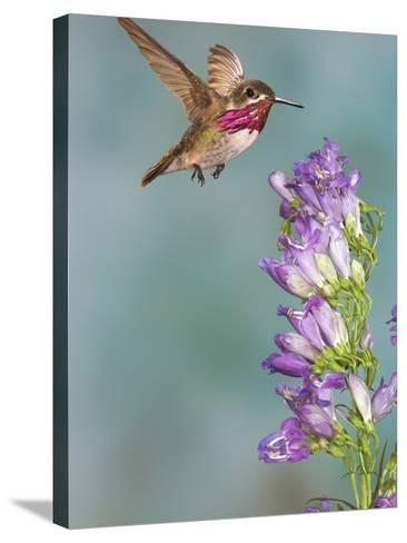 Calliope Hummingbird (Stellula Calliope) Male Flying-Jack Milchanowski-Stretched Canvas Print