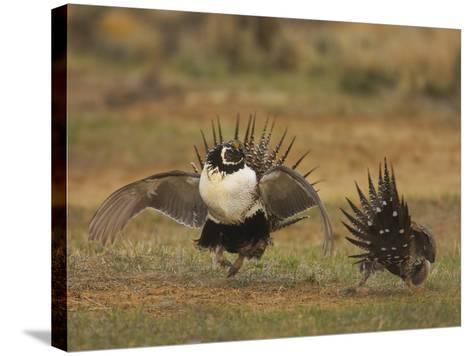 Male Greater Sage-Grouse (Centrocercus Urophasianus) Displaying-Jack Milchanowski-Stretched Canvas Print
