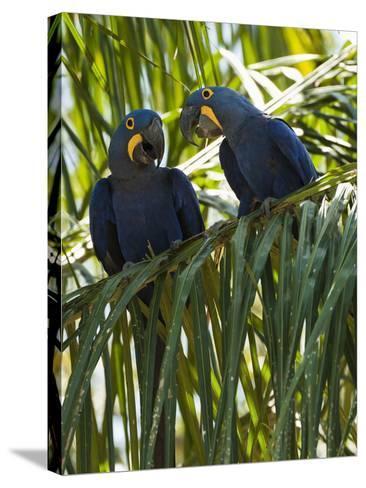 Hyacinth Macaws (Anodorhynchus Hyacinthinus), Pantanal, Brazil-Mary Ann McDonald-Stretched Canvas Print
