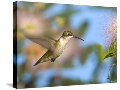 Ruby-Throated Hummingbird (Archilochus Colubris) at Mimosa-Steve Maslowski-Stretched Canvas Print