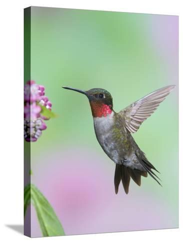 Male Ruby-Throated Hummingbird (Archilochus Colubris) at Swamp Milkweed-Steve Maslowski-Stretched Canvas Print