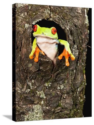 Red-Eyed Tree Frog (Agalychnis Callidryas) Peeking Out a Tree Hole-Joe McDonald-Stretched Canvas Print