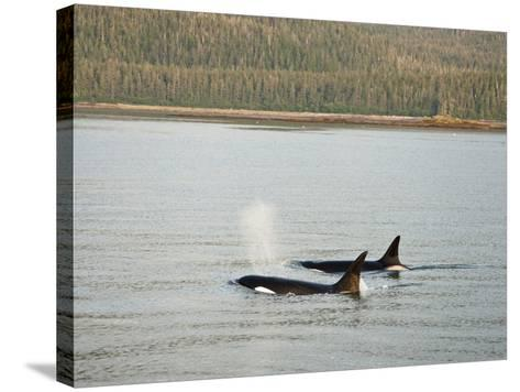 Orcas or Killer Whales (Orcinus Orca) Swimming Along the Coast of Southeastern Alaska, USA-Joe McDonald-Stretched Canvas Print
