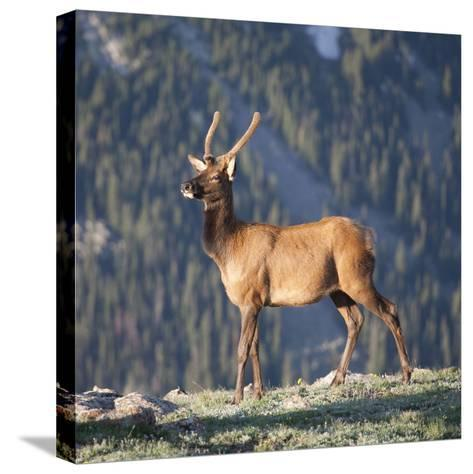 Young Rocky Mountain Elk Bull (Cervus Elaphus) Grazing in the Early Morning, Colorado, USA-Marli Miller-Stretched Canvas Print