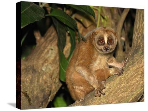 Slow Loris (Nycticebus Coucang), Thailand-Thomas Marent-Stretched Canvas Print
