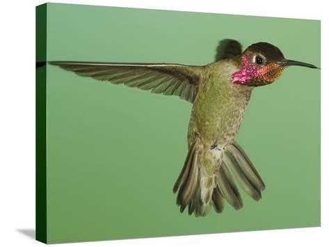 Anna's Hummingbird (Calypte Anna) Hovering with its Tongue Extended Near a Bird Feeder-Joe McDonald-Stretched Canvas Print