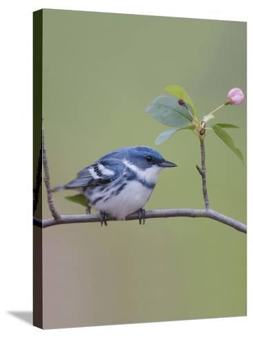 Male Cerulean Warbler (Dendroica Cerulea) Perched on a Branch-Steve Maslowski-Stretched Canvas Print