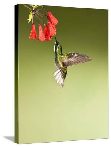 White-Throated Mountain-Gem Hummingbird Nectaring at a Red Tubular Flower-Joe McDonald-Stretched Canvas Print