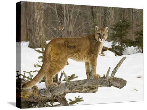 Mountain Lion (Felis Concolor) Standing on a Log-Jack Milchanowski-Stretched Canvas Print