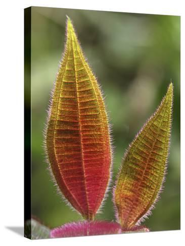 Leaves with Numerous Trichomes, (Melastomataceae), San Cipriano Reserve, Cauca, Colombia-Thomas Marent-Stretched Canvas Print