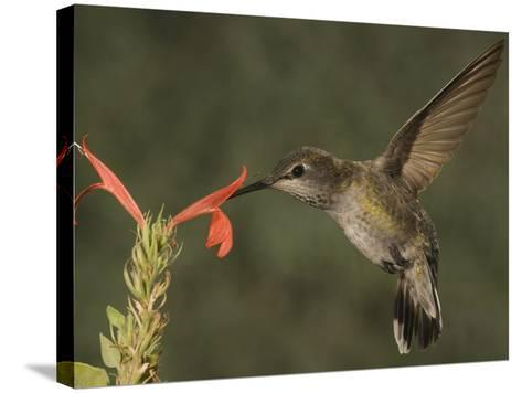 Anna's Hummingbird Female (Calypte Anna) Feeding at a Red Tubular Justicia Candicans Flower, USA-Charles Melton-Stretched Canvas Print