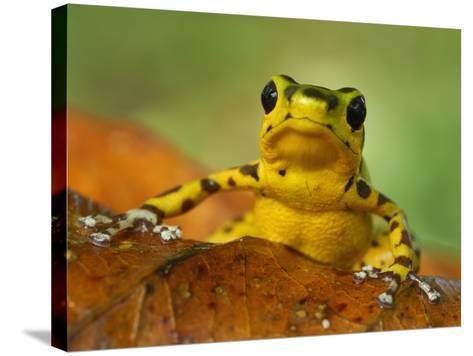 Strawberry Poison Dart Frog (Dendrobates Pumilio), Bastimentos National Park, Bocas Del Toro-Thomas Marent-Stretched Canvas Print