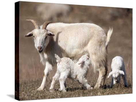 Domestic Goat (Capra Aegagrus Hircus) Nursing One of its Babies in a Barnyard-Joe McDonald-Stretched Canvas Print