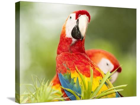 Scarlet Macaw (Ara Macao), Sarapiqui, Costa Rica-Mary Ann McDonald-Stretched Canvas Print