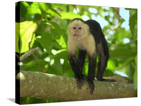 White-Throated Capuchin (Cebus Capucinus), Cahuita National Park, Costa Rica-Thomas Marent-Stretched Canvas Print