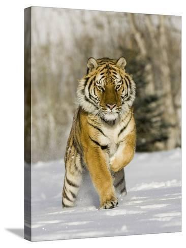 A Siberian Tiger Running in the Snow (Panthera Tigris Altaica), an Endangered Species-Joe McDonald-Stretched Canvas Print