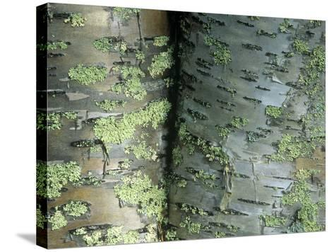 Lichens Growing on the Bark of Paper Birch Trees, Betula Papyrifera, USA-Joe McDonald-Stretched Canvas Print