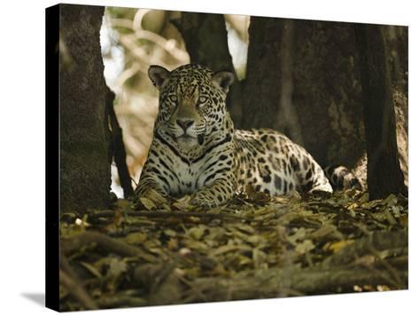 Jaguar (Panthera Onca) Along a Riverbank in Brazil's Pantanal Wetlands-Joe McDonald-Stretched Canvas Print