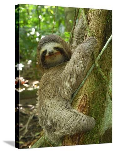 Brown-Throated Three-Toed Sloth (Bradypus Variegatus), Cahuita National Park, Costa Rica-Thomas Marent-Stretched Canvas Print