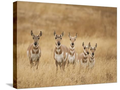 Pronghorn (Antilocapra Americana) Group Standing in a Field in Yellowstone National Park, USA-Joe McDonald-Stretched Canvas Print