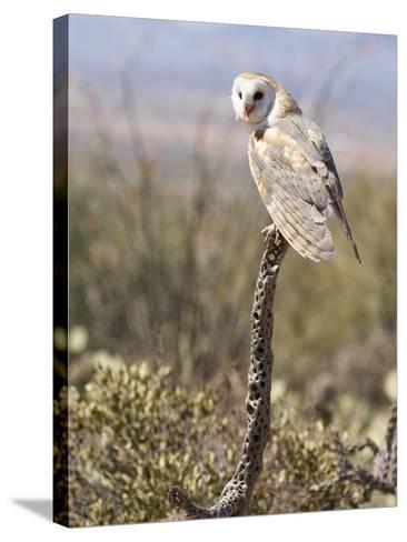 Barn Owl (Tyto Alba), Arizona, USA, Controlled Situation-Mary Ann McDonald-Stretched Canvas Print