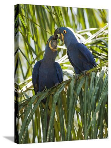 Hyacinth Macaw (Anodorhynchus Hyacinthinus) Pantanal, Brazil-Mary Ann McDonald-Stretched Canvas Print